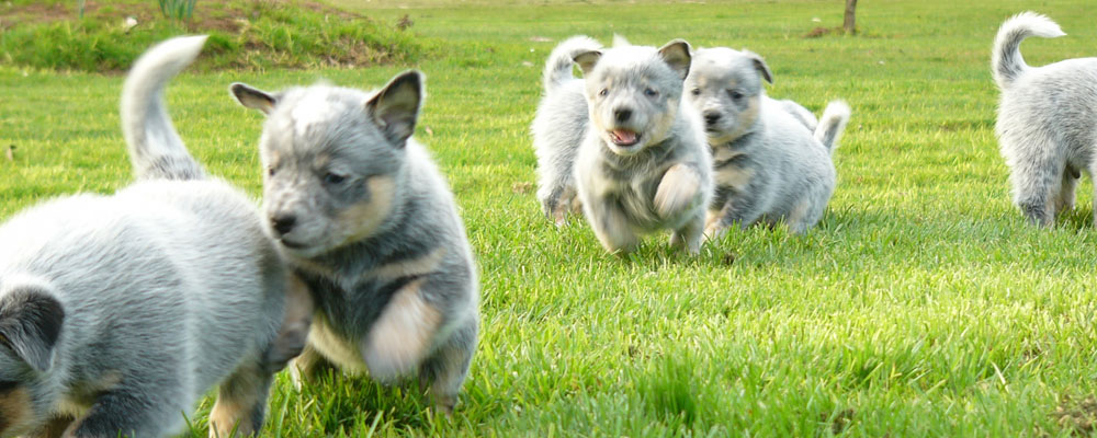 Tanburra Australian Cattle Dogs