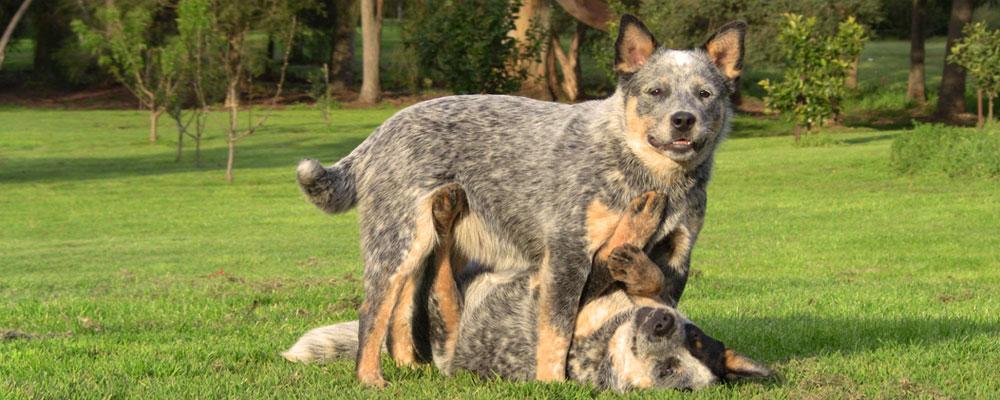 Tanburra Australian Cattle Dogs